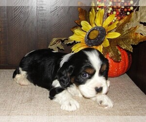 Cavalier King Charles Spaniel-Jack Russell Terrier Mix Puppy for Sale in NARVON, Pennsylvania USA
