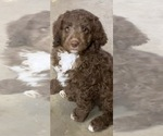 Small Bernedoodle-Poodle (Standard) Mix