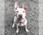 Small #176 American Staffordshire Terrier Mix