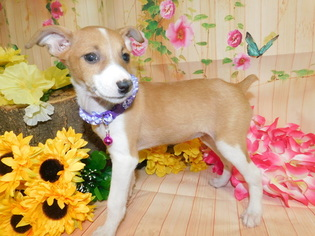 Jack-Rat Terrier Puppy For Sale in HAMMOND, IN, USA
