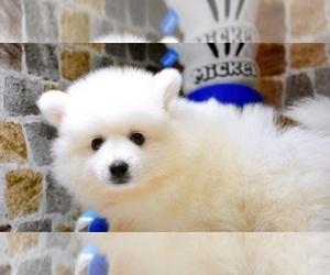 Japanese Spitz Dog for Adoption in SAN FRANCISCO, California USA