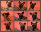 Top working bloodlines Malinois puppie