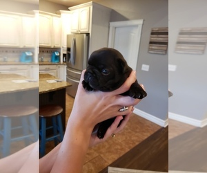 French Bulldog Puppy for sale in MISSOULA, MT, USA