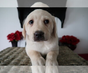 Labrador Retriever Puppy for sale in ADRIAN, MI, USA