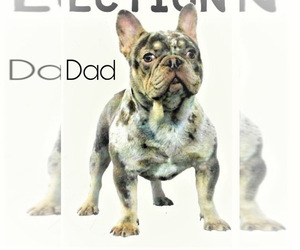 Father of the French Bulldog puppies born on 04/15/2020