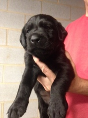 Labrador Retriever Puppy For Sale in STATESVILLE, NC, USA