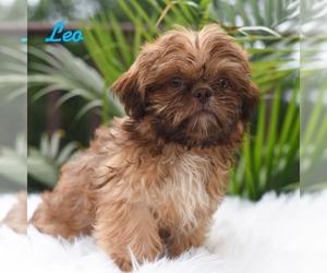 Shih Tzu Puppy for sale in MIFFLINBURG, PA, USA