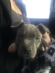 American Pit Bull Terrier Puppy For Sale in BUFFALO, NY, USA