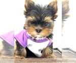 Small #9 Yorkshire Terrier