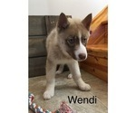 Small Photo #7 Siberian Husky Puppy For Sale in DEARBORN, MO, USA