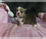 Image preview for Ad Listing. Nickname: Dawn AKC