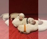Small Photo #7 Labrador Retriever Puppy For Sale in CLARKESVILLE, GA, USA