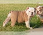 Puppy 3 English Bulldog
