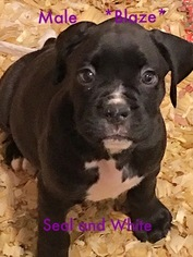 Boxer Puppy For Sale in BESSEMER, AL, USA