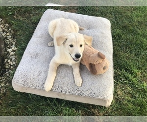 Goldendoodle Puppy for sale in DAYTON, OR, USA