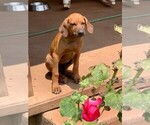 Puppy 1 Rhodesian Ridgeback