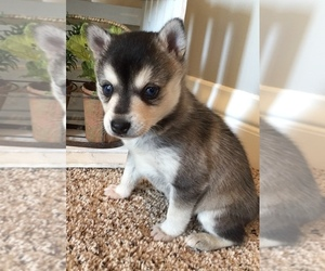 Alaskan Klee Kai Puppy for Sale in WINCHESTER, Ohio USA
