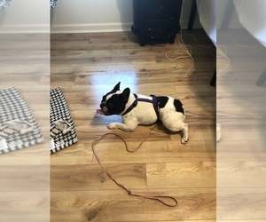 French Bulldog Puppy for sale in GULF BREEZE, FL, USA