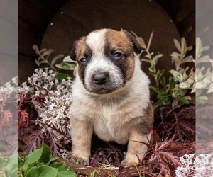 Australian Cattle Dog Puppy for sale in LEBANON, PA, USA