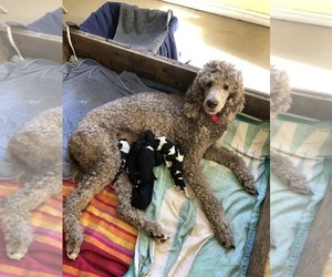 Poodle (Standard) Puppy for sale in RICHMOND, VA, USA