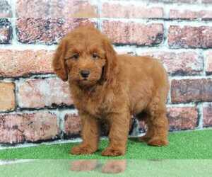 Goldendoodle Dog for Adoption in BEL AIR, Maryland USA