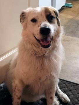 English Setter-Great Pyrenees Mix dog
