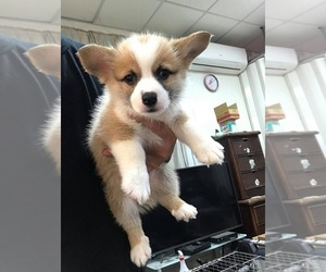 Cardigan Welsh Corgi Puppy for sale in JERSEY CITY, NJ, USA