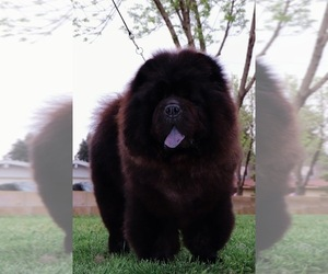 Father of the Chow Chow puppies born on 10/10/2020