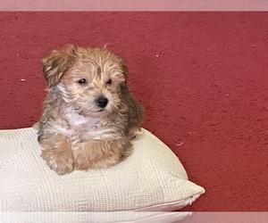 Morkie Puppy for sale in QUEENS, NY, USA