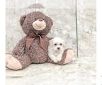 Ziggy The Teddy Bear Puppy