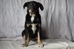 Sheprador Puppy For Sale in FREDERICKSBURG, OH, USA