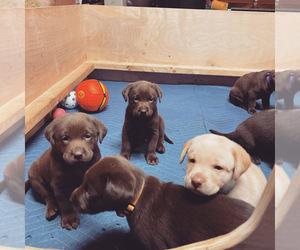Labrador Retriever Puppy for sale in PITTSBURG, TX, USA