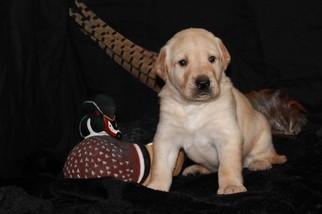 Labrador Retriever Puppy For Sale in PLATTSBURGH, NY