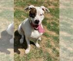 Small #571 American Pit Bull Terrier-Huskies  Mix