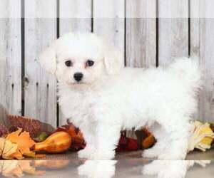 Bichon Frise Dog for Adoption in MOUNT VERNON, Ohio USA