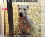 Small Photo #91 Dogo Argentino Puppy For Sale in PINEVILLE, MO, USA