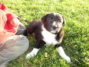 Border Collie Puppy For Sale in MC VEYTOWN, PA