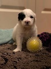 Portuguese Water Dog Puppy For Sale in BALDWIN, KS, USA