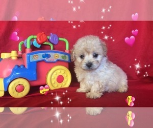 Shih Tzu-Shih-Poo Mix Puppy for Sale in SAN FRANCISCO, California USA