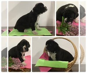 Boxer Puppy for Sale in AUGSBURG, Illinois USA