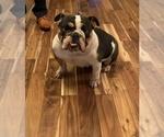 Small Photo #1 English Bulldog Puppy For Sale in DAYTON, OH, USA