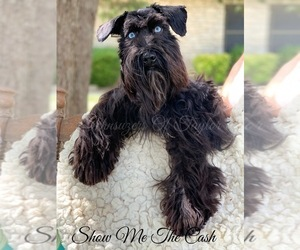 Schnauzer (Miniature) Puppy for Sale in ELGIN, Texas USA