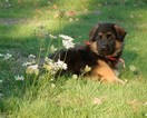 German Shepherd Dog Puppy For Sale in FOREST GROVE, OR, USA