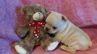 French Bulldog Puppy For Sale in BARNETT, MO