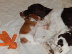 Brittany Puppy For Sale in GLADBROOK, IA,