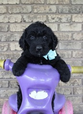 View Ad: Labradoodle Litter of Puppies for Sale near Ohio