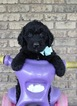F2bb Labradoodle Puppies Ready for adoption