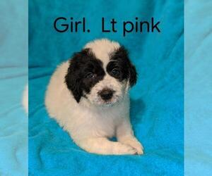 Pyredoodle Puppy for Sale in MOUNT ORAB, Ohio USA