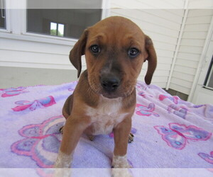 Black Mouth Cur Puppy for sale in HUDSON, MI, USA