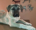 Small #1 Kangal Dog